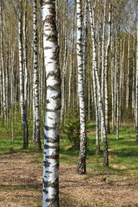 Close up of a birch tree with other birch trees in the background