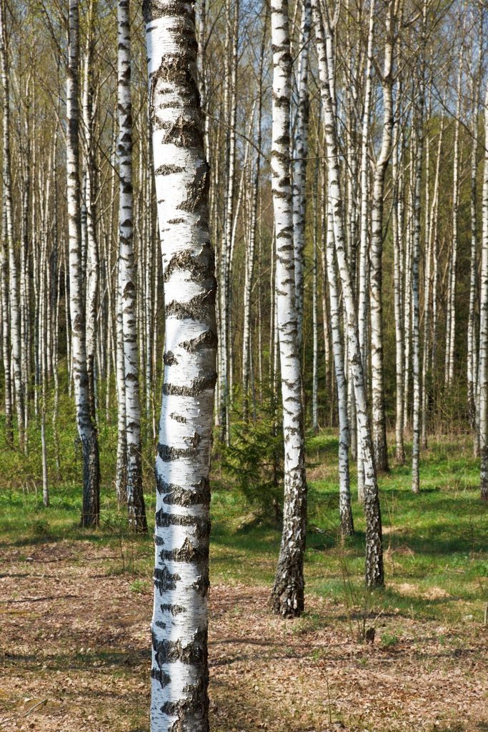What's Killing Your Birch Tree? | Inexpensive Tree Care