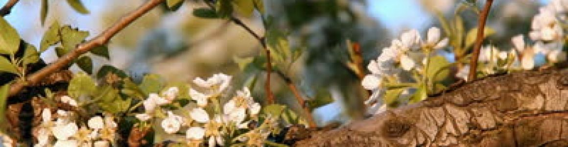 Blossoming Tree Inexpensive Tree Care