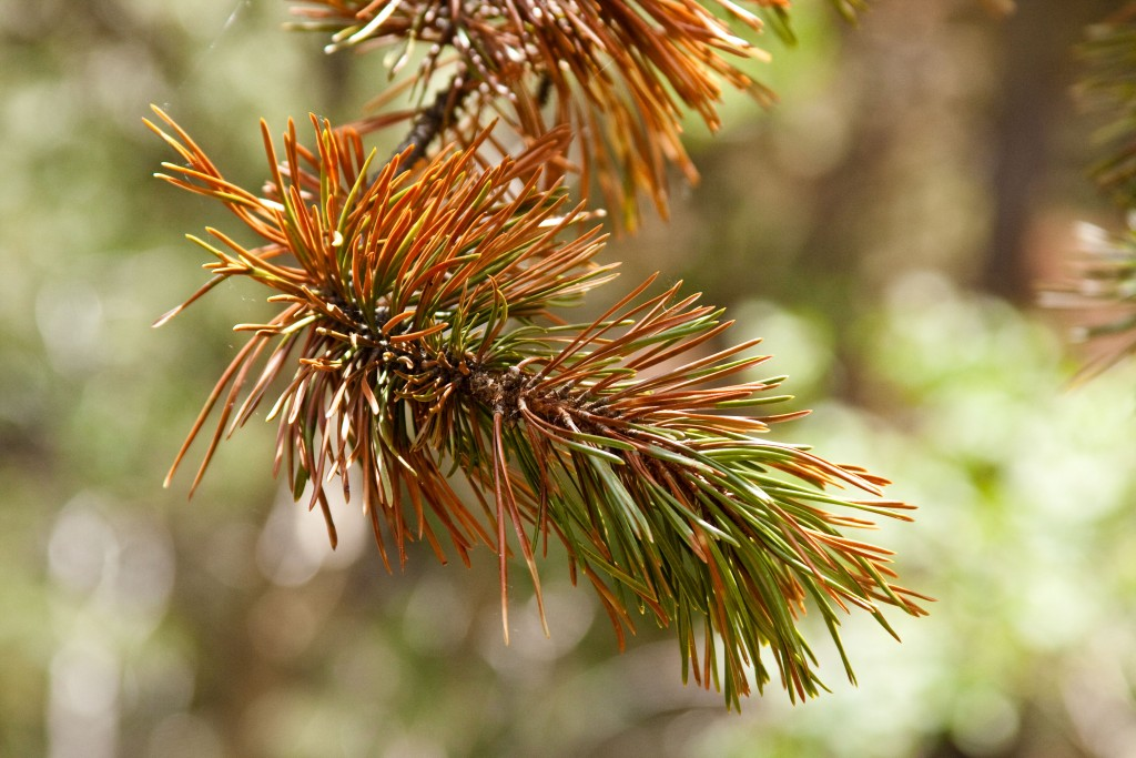 Dying Pine Bough