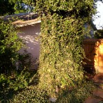English-ivy-tree