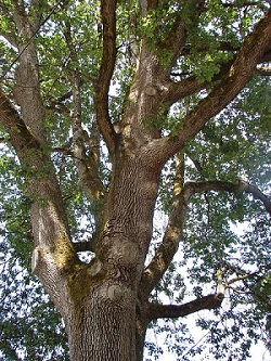 Oregon White Oak Tree