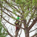 Professional tree trimmer doing tree pruning