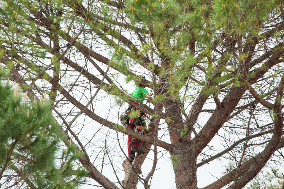 Man pruning pine tree.