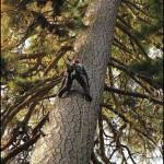 Pine_Tallest_360_1