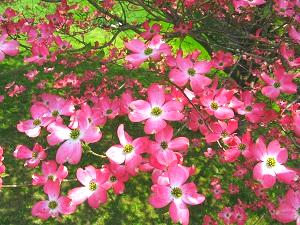 pink dogwood tree portland