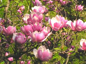 saucer magnolia portland