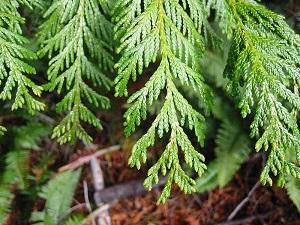 Wester Red Cedar Tree