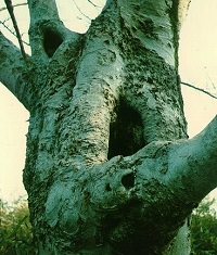 Large Tree Cavity