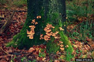 tree infected with Armillaria root rot