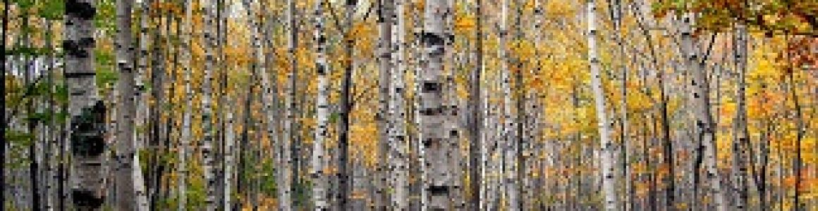 What's Killing Your Birch Tree?
