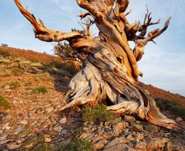 The World's Oldest Trees