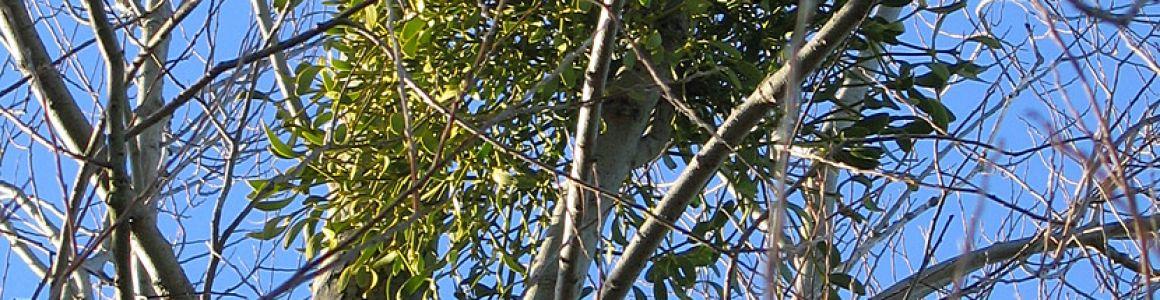 Is Mistletoe The Kiss of Tree Death?