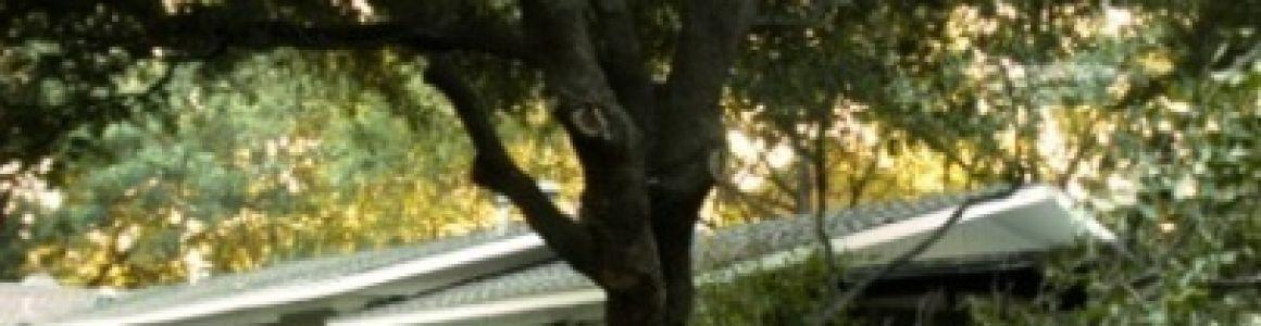 On Hot Summer Days Beware Of Sudden Branch Drop