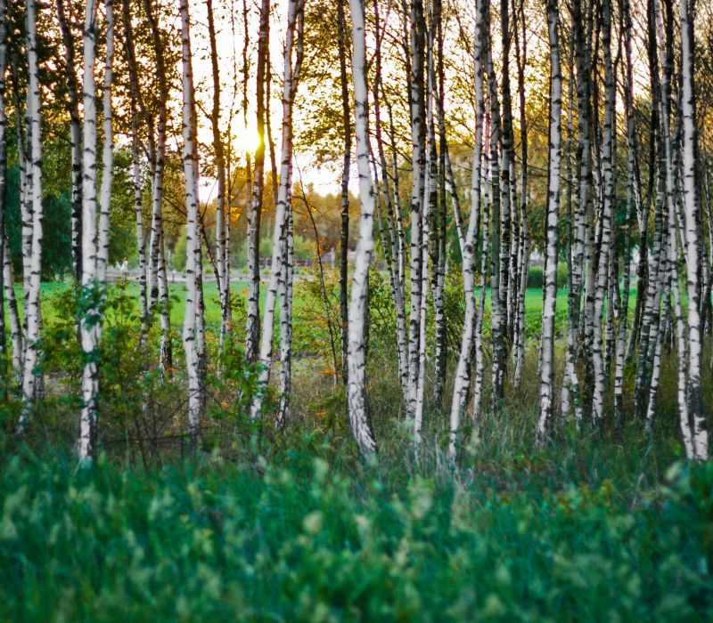 Climate Change & Its Effect on Birch Trees