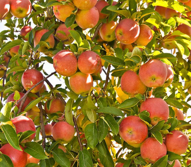 Fall Season Care for Fruit Trees