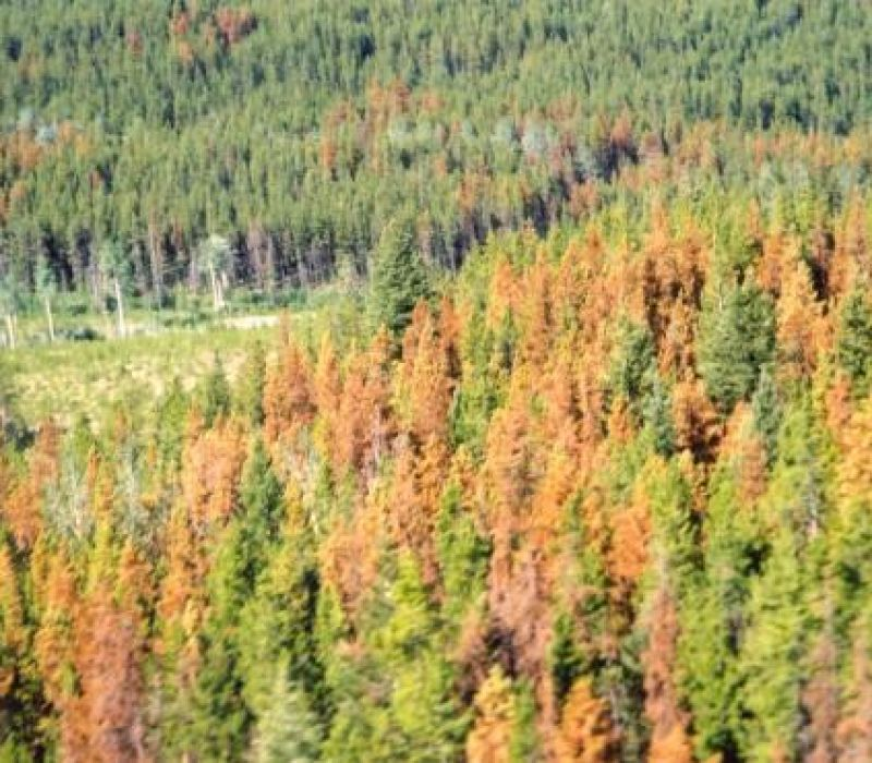 Bark Beetle Outbreak Causing Widespread Pine Tree Death