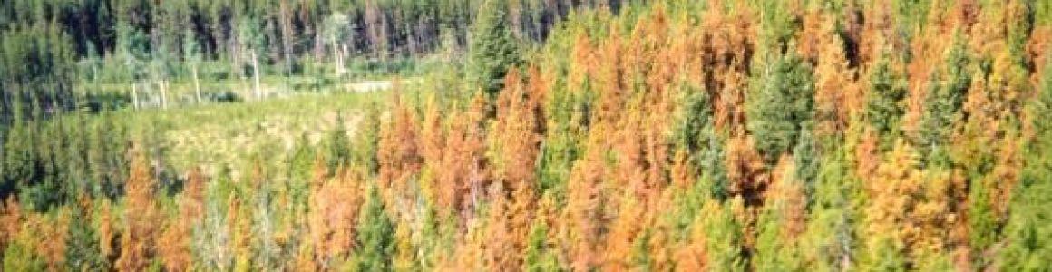 Bark Beetle Outbreak Causing Widespread Pine Tree Death