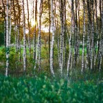 Birch Trees Inexpensive Tree Care