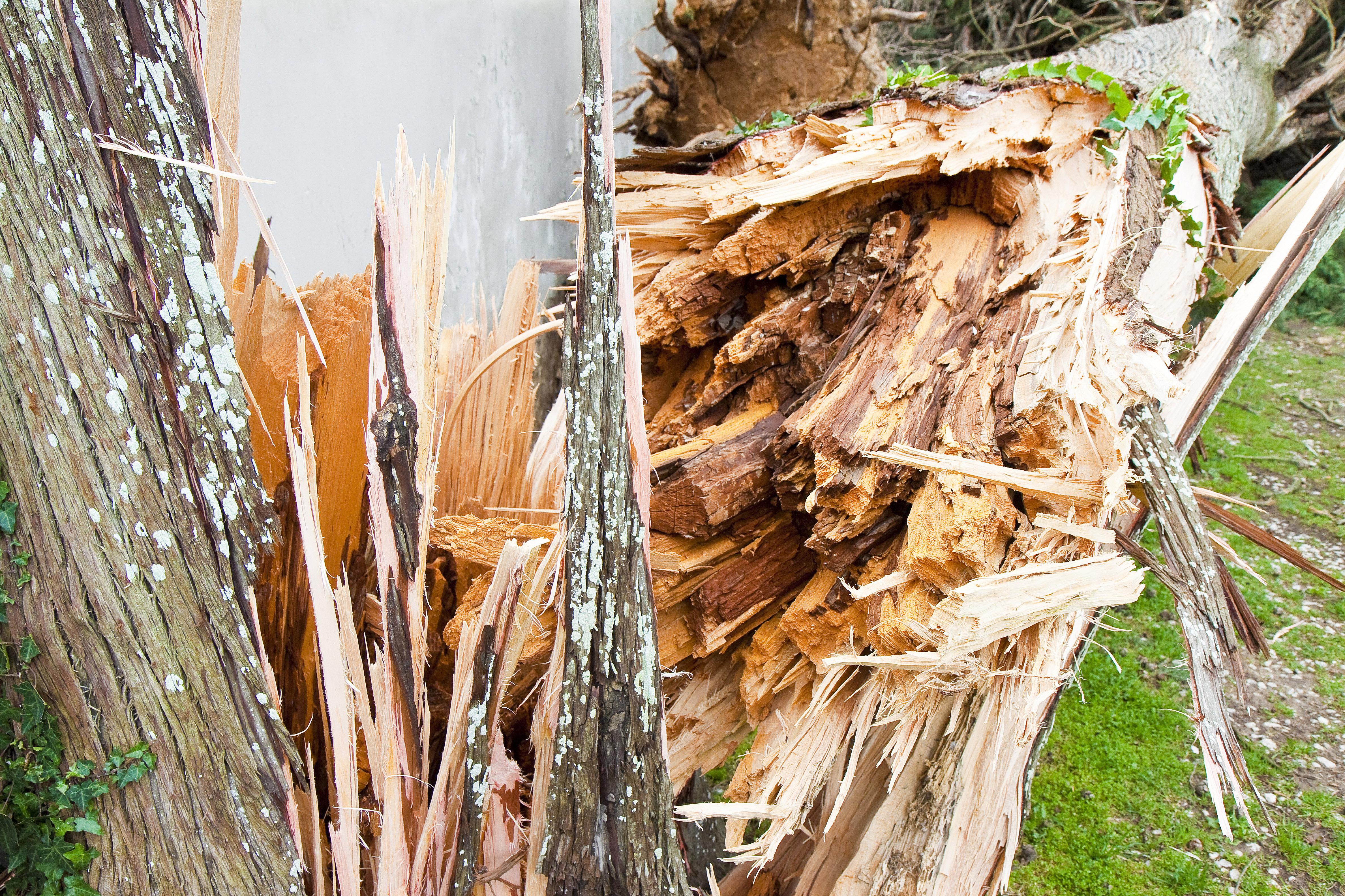 Cypress tree fallen after a wind storm