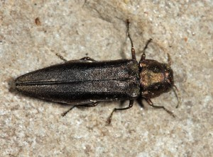 Bronze Birch Borer Beetle