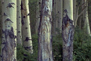 aspen trees infected with cankers