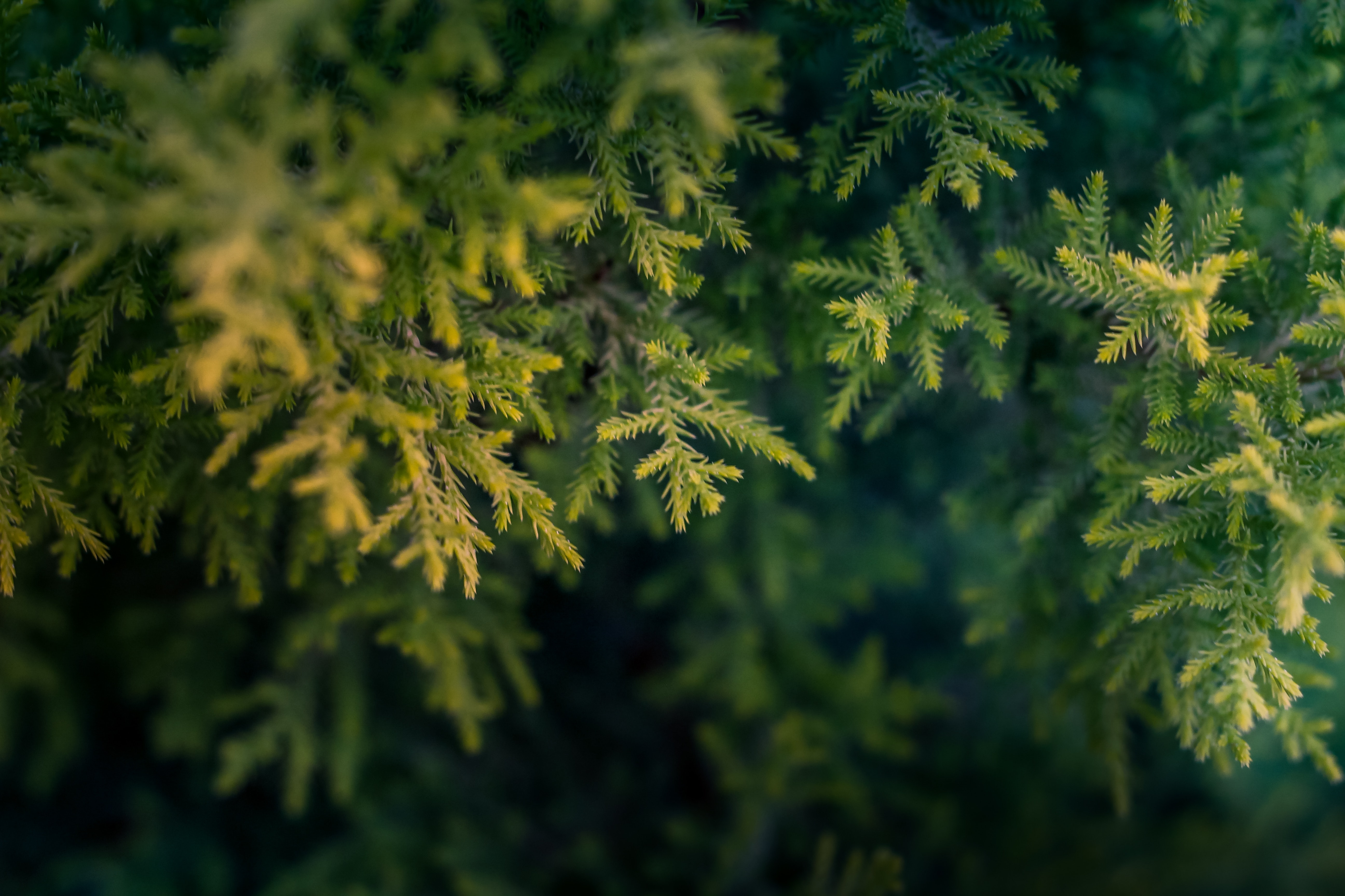 close-up-pine-tree
