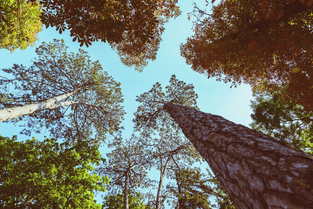 Image of tall trees and blue sky to illustrate topic of tree talk