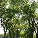 Elm Canopy
