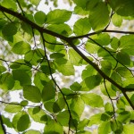leaves-on-branches