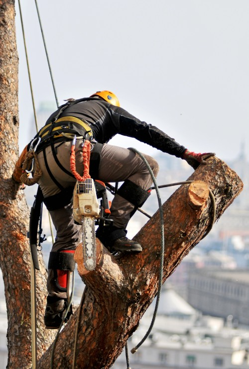 Tree pruning specialist standing on a large tree limb wearing safety gear