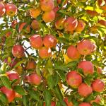 fall fruit tree