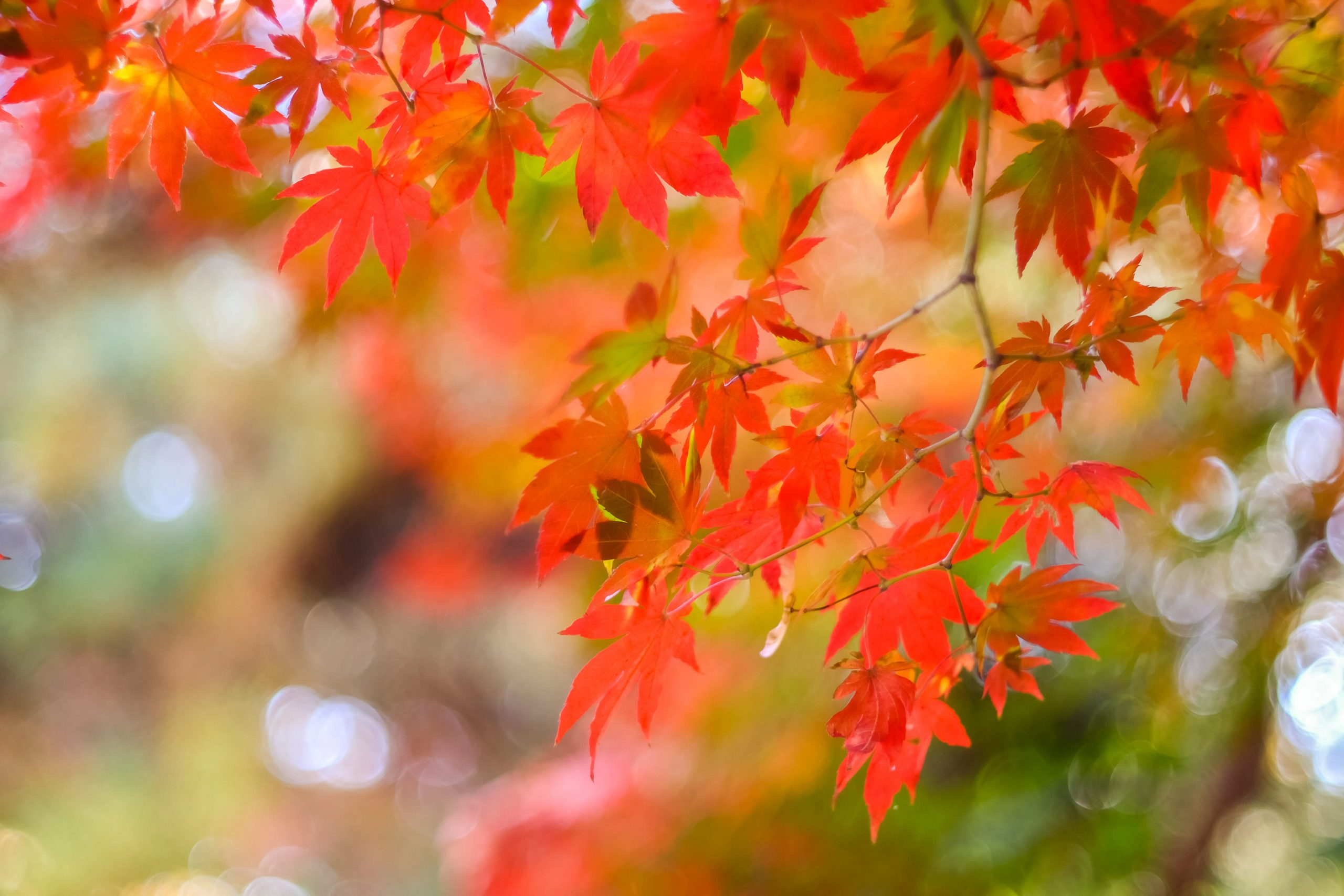 maple leaves change color in early fall to illustrate Fall Tree Care