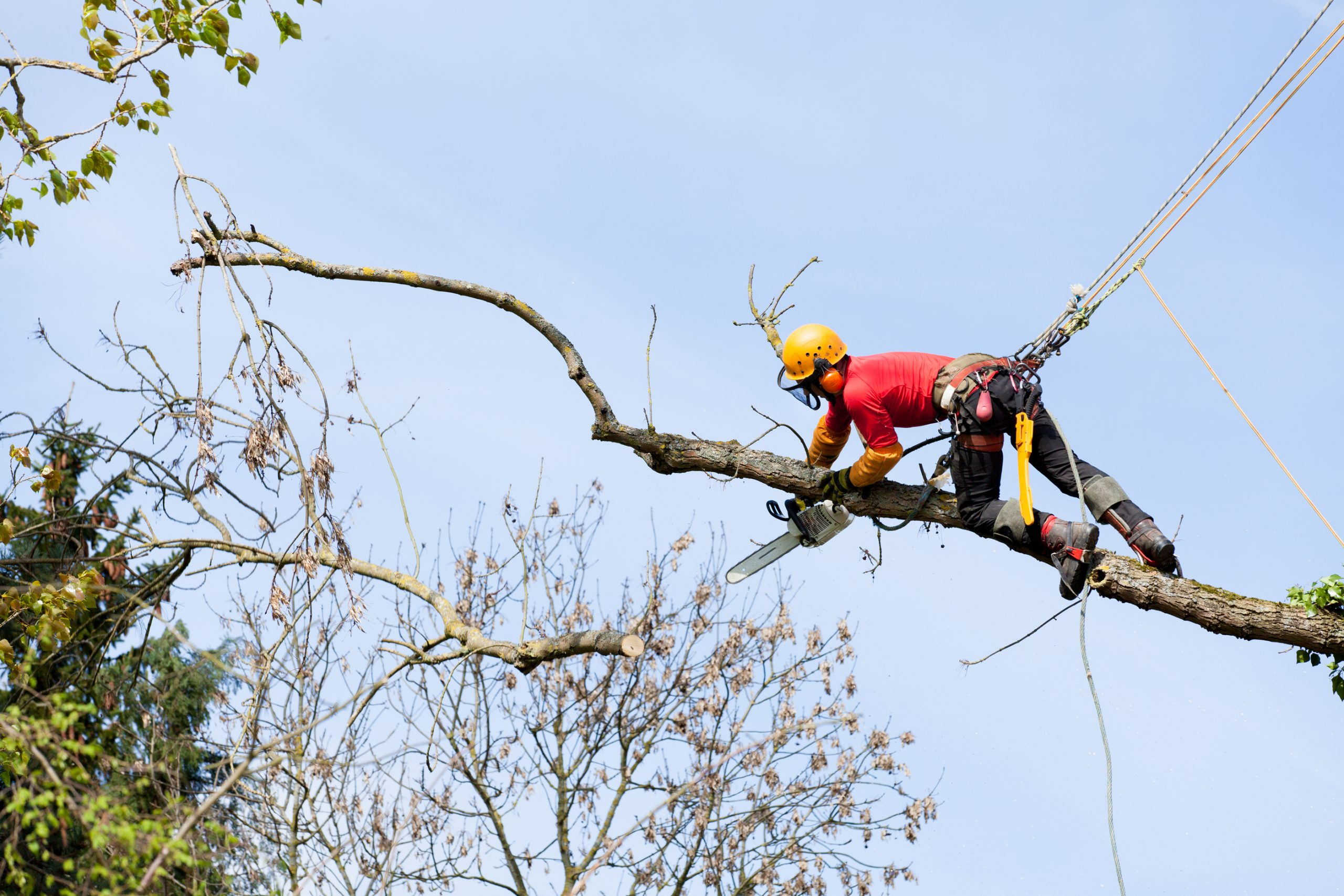 An arborist cutting a tree with a chainsaw. Thinking of becoming an arborist?