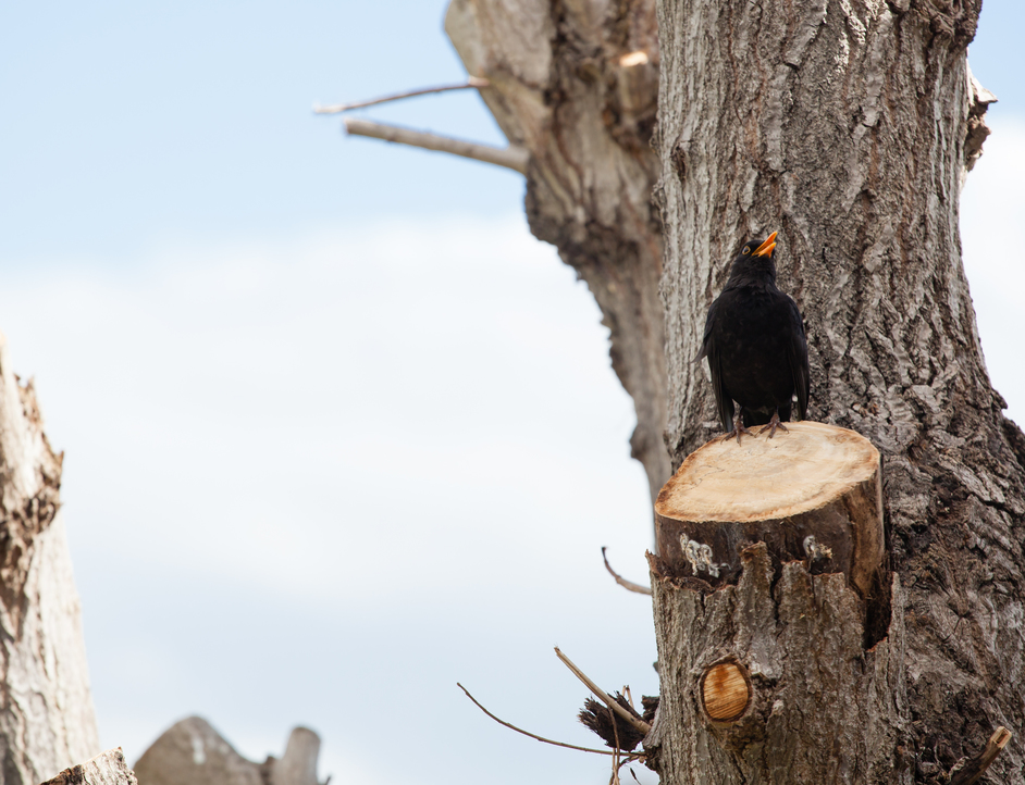 Blackbird sitting on a just-trimmed tree to illustrate tree service