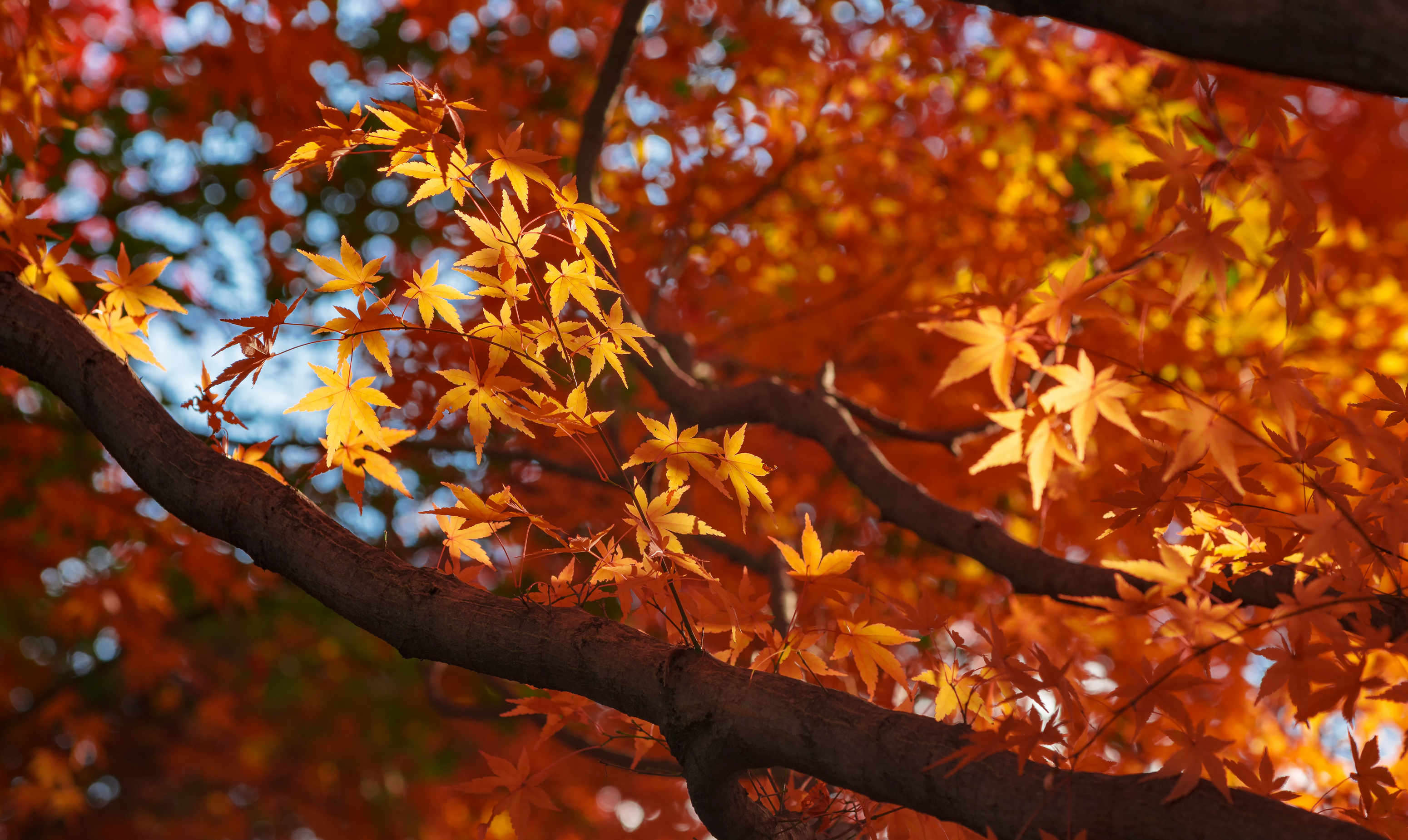 A beautiful maple tree with colorful autumn leaves to illustrate How To Care For A New Maple Sapling In The Winter
