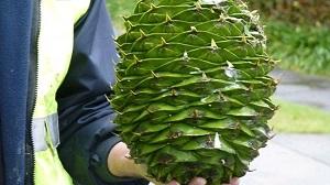 huge bunya pine cone