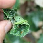 leaf roller larvae on a strawberry leaf