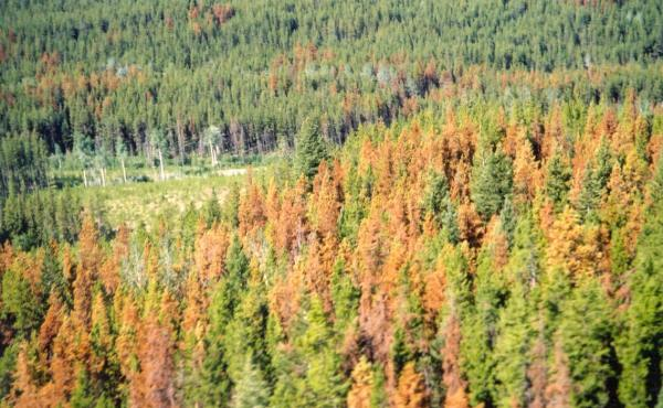 pine trees dying