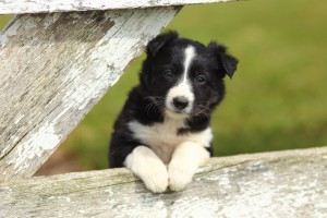 Border Collie Puppy With Paws on White Rustic Fence 2