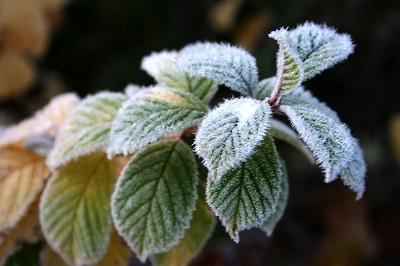 tender tree frost