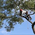 Tree Surgeon Lumberjack cutting tree