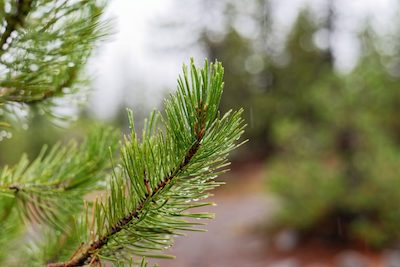 Close up of Douglas Fir trees to illustrate tree care clackamas