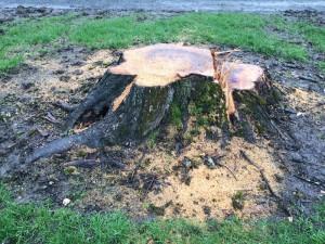 Stump grinding gets rid of tree stumps fast.