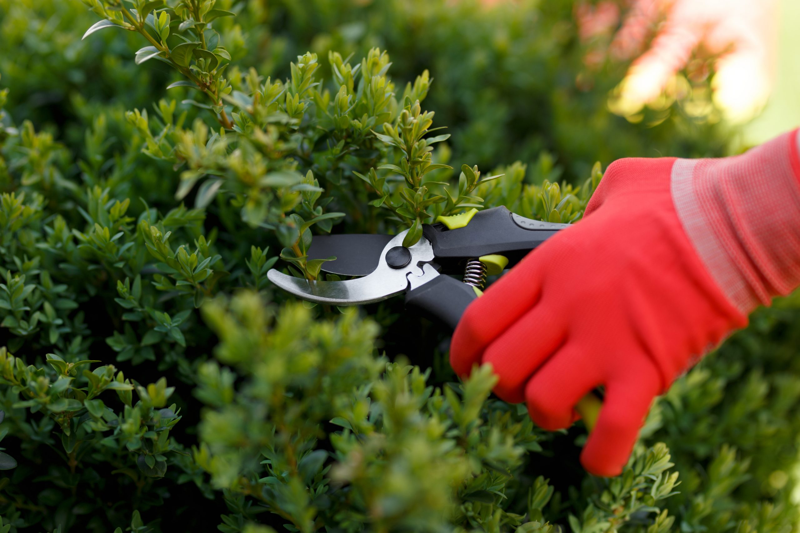 Girl cuts or trims the bush in the garden to illustrate When To Trim Bushes.