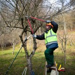A tree trimmer doing winter pruning on a tree