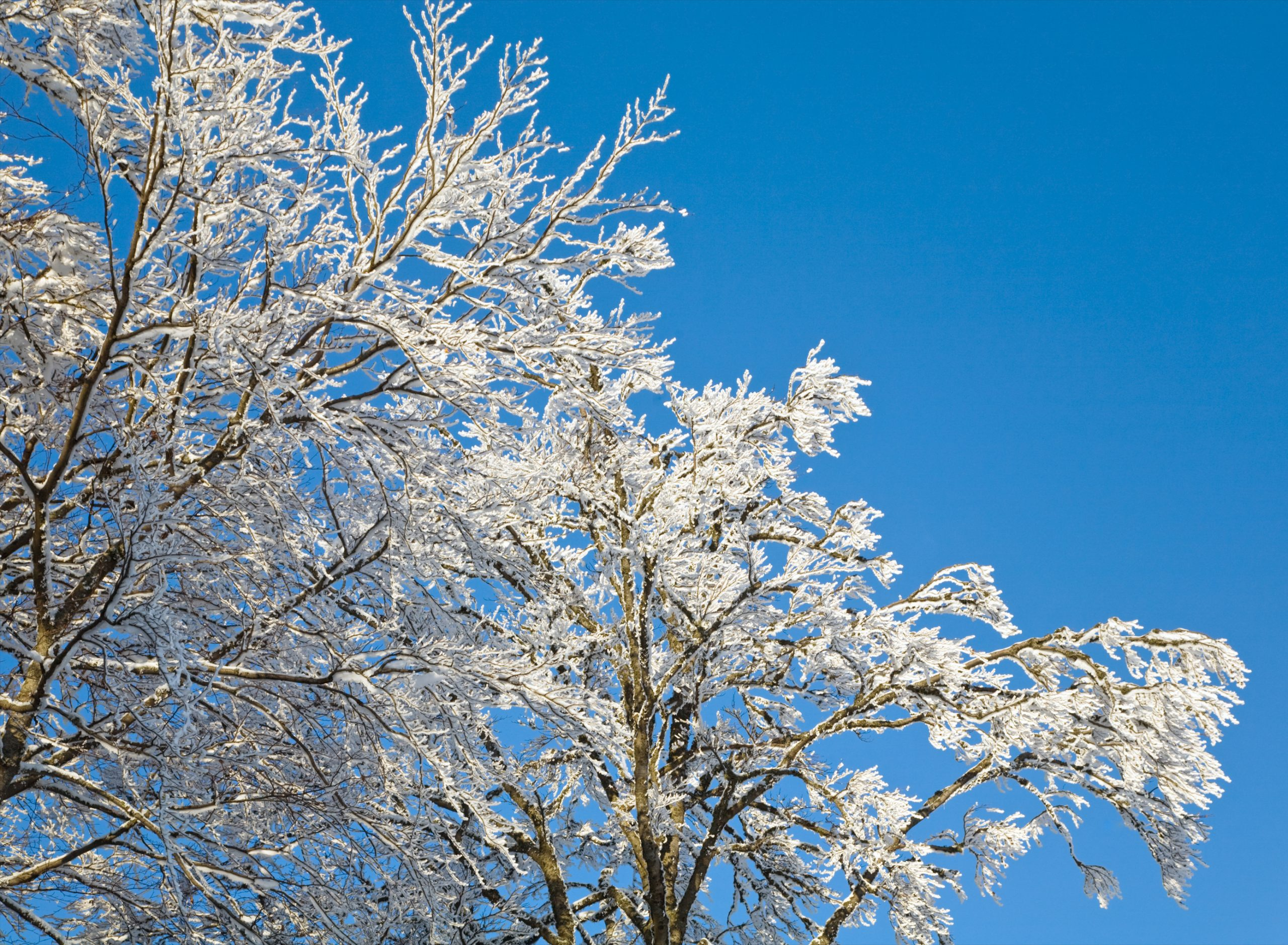 Hoarfrost on tree to illustrate Winter Tree Care Tips for the Season